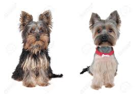 long hair yorkie haircuts u2013 dog life photo