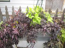 a corner garden my annual sweet potato vine taste testing yes
