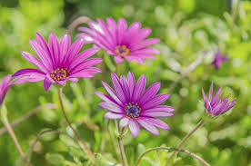 when to prune native plants pruning african daisies u2013 tips on how and when to cut back african