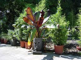 Pflanzen Fur Japanischen Garten Palmen U0026 Bananen Garten Pflanzen Bambus Und Pflanzenshop