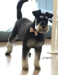 schnauzers hair cuts 291 best schnauzers images on pinterest puppies adorable