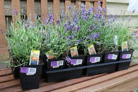 the church picks kale 1 50 lavender plants and a trip to