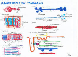 anatomy study guides image collections learn human anatomy image