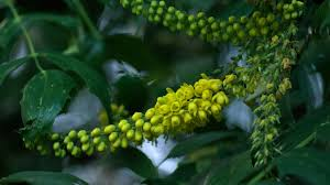 plants native to ireland irish connections mahonia