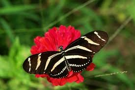zebra longwing florida state butterfly uf ifas extension