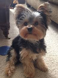 pictures of puppy haircuts for yorkie dogs best 25 yorkshire terrier haircut ideas on pinterest yorkie