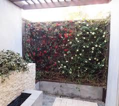 Azalea Topiary After Uv Bougainvillea And Azalea Trellis Planting Make Be Leaves