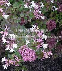 Shrub Small White Flowers - the greenery nursery and garden center