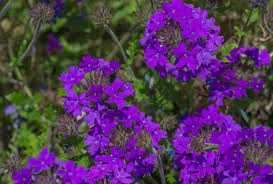 Verbena Flower 25 Purple Flower Ideas For Your Garden Pots And Planters