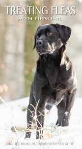 fipronil for dogs your questions answered the labrador site