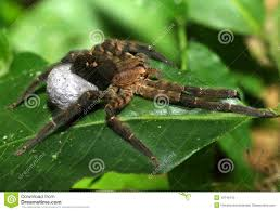 wolf spider with egg sac pico bonito honduras royalty free stock