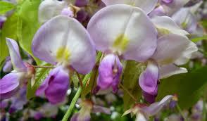 wisteria tempura fancy forageporage u0027s blog