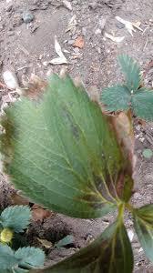 Plant Diseases Identification - strawberry plant disease identification help gardening forums