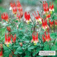columbine plant aquilegia canadensis lanterns lanterns columbine