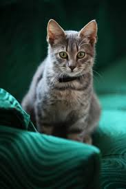9523 best the beautiful cat images on pinterest animals kitty