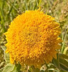 teddy sunflowers teddy sunflower seeds