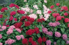 pentas flower pentas lanceolata kaleidoscope mix annual benary