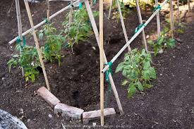 Tomatoes Trellis A Frame Tomato Trellis Greenfuse Photos Garden Farm U0026 Food