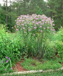 45 best maryland plants piedmont sun meadow images