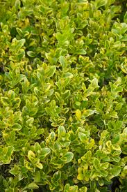 golden triumph boxwood monrovia golden triumph boxwood