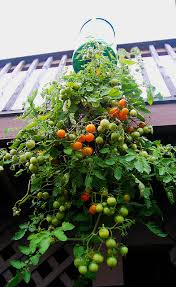 Upside Down Tomato Planter by 15 Helpful Design Tips For Vertical Gardens The Micro Gardener