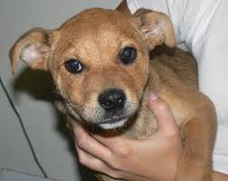 8 week old australian shepherd training shar pei mix puppy greyt inspirations life