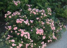 Low Maintenance Plants And Flowers - top ten shrubs for containers and small gardens proven winners