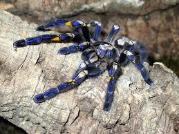 top 9 tarantula spiders of india