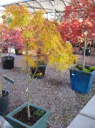 Maple Tree Symbolism by Weeping Japanese Maple Tree 500mm Pot Big And Established