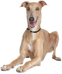 Dogs For The Blind Adoption Italian Greyhound Puppies Rescue And Adoption Near You