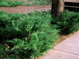 Bushes For Landscaping Popular Landscaping Groundcovers And Shrubs Diy