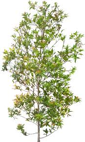 Tropical Plants Images - tropical plant pictures eugenia myrtifolia brush cherry