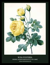 Vintage Rose Home Decor by Rosa Sulfurea Yellow Rose Illustration By Pierre Joseph Redoute