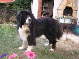 afghan hound collie mix tibetan mastiff dog justadogg