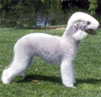 grooming a bedlington terrier puppy adopt a bedlington terrier dog breeds petfinder