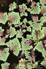 australian native aquatic plants feathered mosquitofern azolla pinnata pinnata factsheet