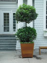 Topiary Plants Online - growing topiaries dirt simple