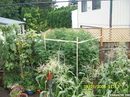 outdoor g 13 monster plants 3 to 5 pounders each