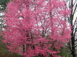 don t cut this cherry tree southern living