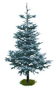 noble fir christmas tree the christmas tree at swansons nursery
