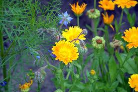 Calendula Flowers Free Photo Calendula Flowers Summer Free Image On Pixabay