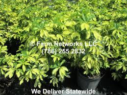 native plant nursery florida miami beach plant nursery wholesale clusia nursery we deliver