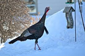 how many turkeys will be eaten on thanksgiving turkeys are what they eat weird and adaptable u2013 cool green science