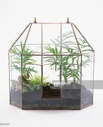 chamaedorea elegans small palm trees in glass terrarium stock