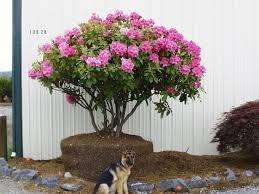 trees with pink flowers thundercloud plum japanese snowbell crabapple tree big tree