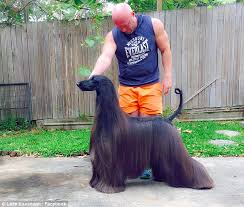 afghan hound therapy dog afghan hound tea becomes internet sensation for owner luke