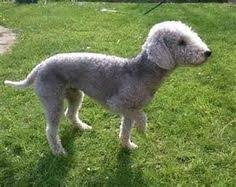 feeding a bedlington terrier is the bedlington terrier a hypoallergenic dog breed bedlington
