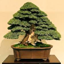 needle juniper juniperus rigida kokufu ten 2015 pinterest
