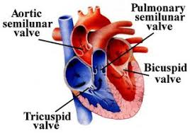Anatomy Of Heart Valve Artificial Heart Valves By Nicole Raia And David Ferreira