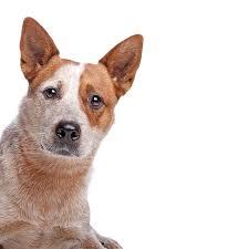 australian shepherd qld dog breed information america u0027s pet registry